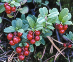 Lingonberries. Photo: Finnish Forest Association