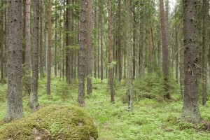 Gene reserve forests in Lapinjärvi. Photo: Erkki Oksanen, Luke