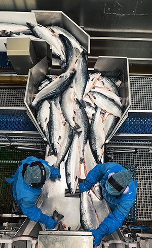 Salmon are processed at Lerøy's fish farm at Skjervøy in northern Norway.