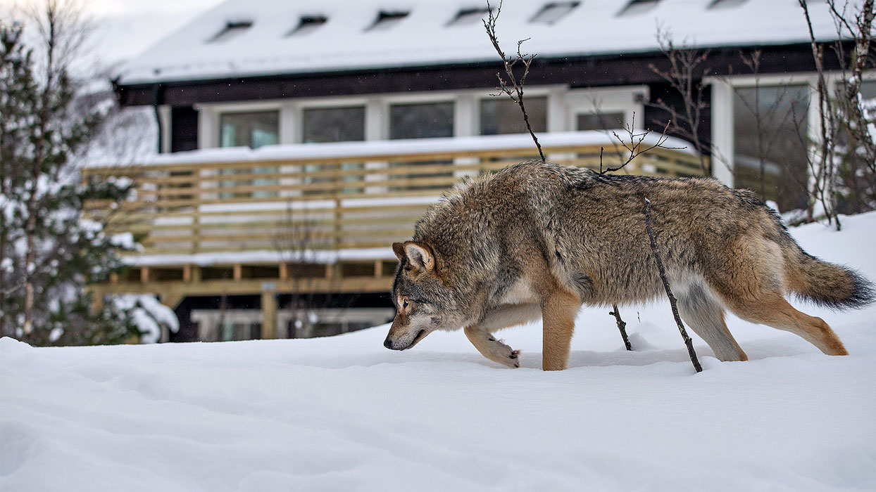 Encounter an unusual wolf sanctuary in Norwegian Lapland