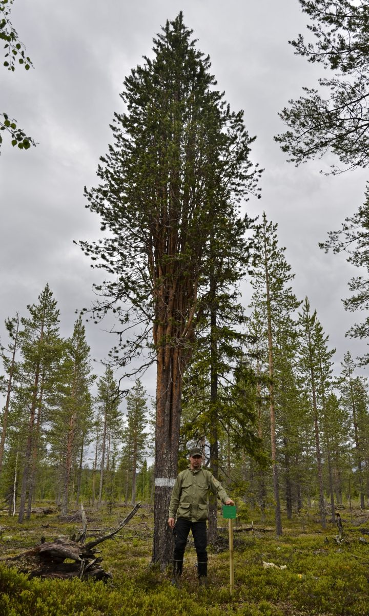 The tree is 10.5 metres high. Photo: Juri Laurila