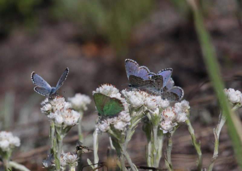 The eastern baton blue benefits from forest regeneration by wildfire or prescribed burning. Photo: Erkki Kallio