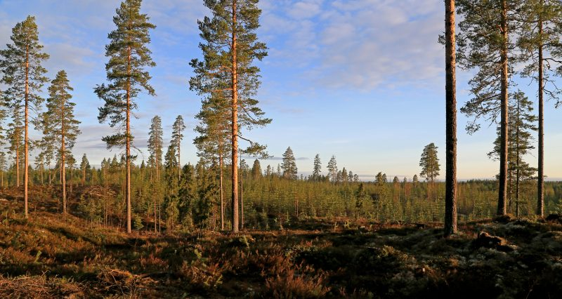 Sometimes a healthy planted site is considered even more beautiful than spruce stands ripe for regeneration. Photo: Harri Silvennoinen